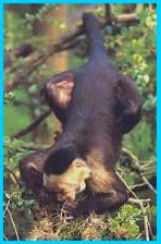 capuchin monkey photograph.