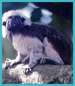 photograph of a cotton-top tamarin monkey.