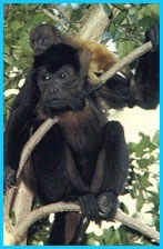 Photo of a mantled howler monkey.