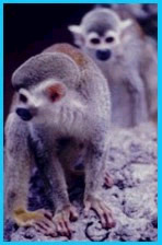 Squirrel monkey photograph.