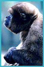 Photograph of a woolly monkey.